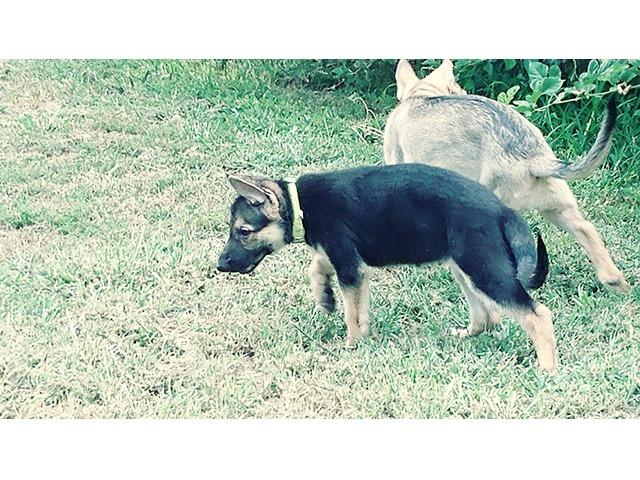 Purebred German Shepherd Puppies In Sangamon County Illinois